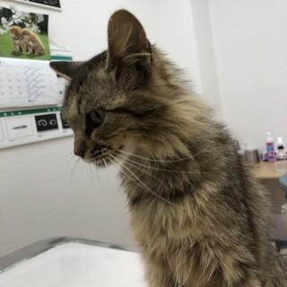 長毛系のキジ猫さん