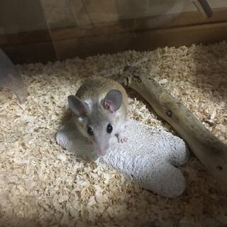 カイロトゲマウスのベビー