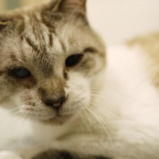 ★シニア猫のシャムMIX★ブルーアイ★右目失明