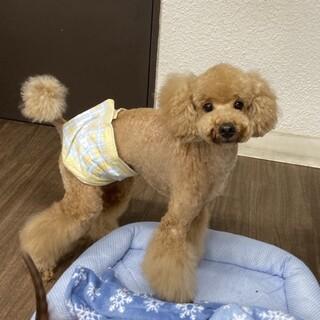 ライム★人大好き甘えん坊トイプー♂