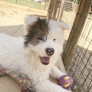 大型犬となりそうなサラフワのナルくん3ヶ月