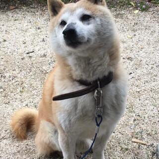 とても性格の良いシニアの柴犬