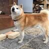 とても性格の良いシニアの柴犬 サムネイル3