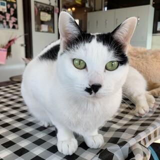 猫が好き 可愛いチョビヒゲ♀4歳【りゅうかくさん】