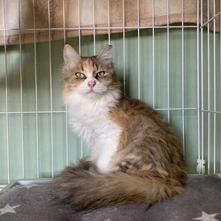 ミステリアスな美しい三毛猫