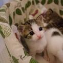 生後約1ヶ月弱のキジ白の子猫です