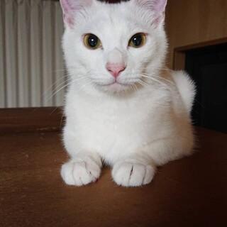 約1歳 昨年春生まれ 子猫 白猫 去勢済 オス
