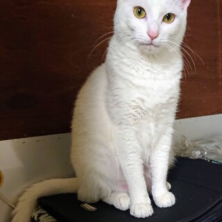 約1歳 昨年春生まれ 子猫 白猫 避妊済 メス