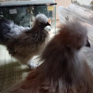 シルキー烏骨鶏 雄 1匹 里親募集します