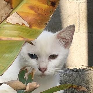 オッドアイの白猫さん