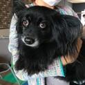 飼い主死亡 パピヨンポメラニアンMIX 穏やか美犬