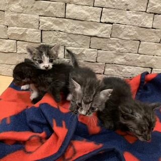 急募子猫4匹募集