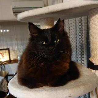 黒長毛フワフワの美猫 ルナ