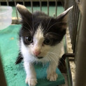 ひとりぼっち生後ひと月半程度ハチワレ子猫