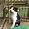 ひとりぼっち生後ひと月半程度ハチワレ子猫 サムネイル2