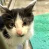 ひとりぼっち生後ひと月半程度ハチワレ子猫 サムネイル3