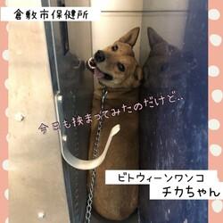 倉敷の野犬、チカちゃんの午後→譲渡決定!