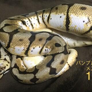 ドリームチームヘビのペアリング