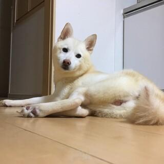 【里親様決定】柴犬(白)♀ 6歳 - さゆきちゃん