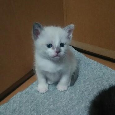白猫シャムMixくん