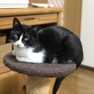 少し寂しがりやのかわいいもふもふ白黒猫ちゃん