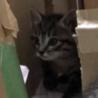 猫の赤ちゃん キジトラ(サバトラ風)トノくん(仮)