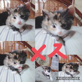 ※予約中※ミケ猫1ヶ月(4月14日産まれ)女の子