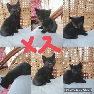 1ヶ月(4月7日産まれ)黒猫の女の子