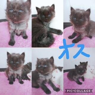 1ヶ月(4月7日産まれ)黒猫の男の子