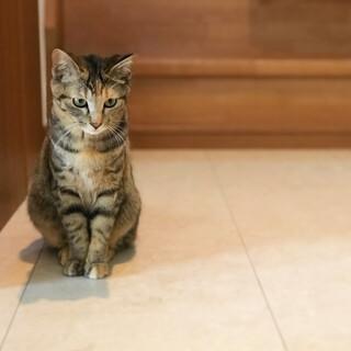 保護猫*サビ入りキジトラちゃん*FIV*