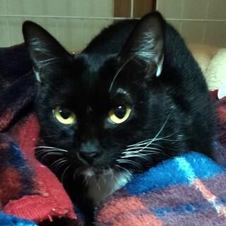 目がクリクリの黒白猫ちゃんの里親募集しています!