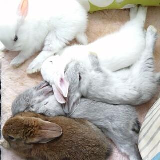 可愛い5羽の仔ウサギの里親様募集
