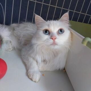 白長毛の美猫ちゃん☆フェリスちゃん