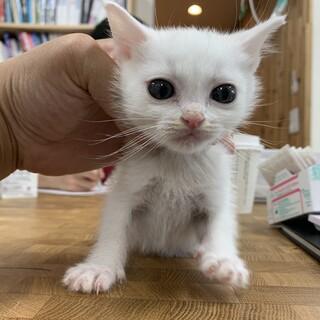 (応募多数で一時中止)綺麗な白猫ちゃん!