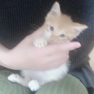 生後2ヶ月の仔猫トラ柄のとってもかわいい男の子