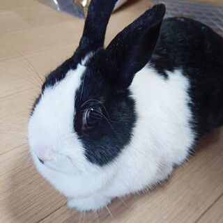 パンダうさぎ〜えまちゃん(仮)