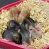 4月10日出産のジャンガリアン3匹の里親募集 サムネイル5