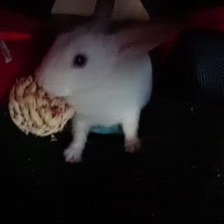 一歳ミニウサギ♂甘えん坊可愛いです
