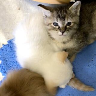 まだ幼い4兄妹キジサビ茶白