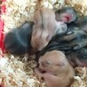 4月10日出産のジャンガリアン3匹の里親募集 サムネイル6