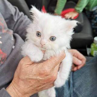 (交渉中)白の長毛の子猫、多分女の子