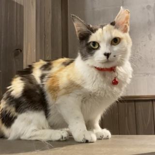 薄三毛の美猫アンバーちゃん
