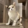 薄三毛の美猫アンバーちゃん  サムネイル3