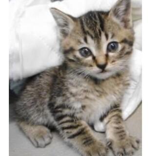 里親様に迎えられました。子猫 キジ028