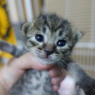 5月8日頃生まれのキジトラの女の子