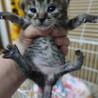 5月8日頃生まれのキジトラの女の子 サムネイル2