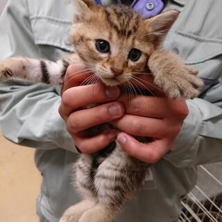 可愛いキジ子猫オス