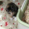 2ヶ月 3姉妹子猫 サムネイル3