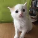 茶白の子猫ラムネちゃん