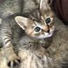 子猫の里親様を募集いたします(4月19日生まれ) サムネイル2